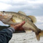 Spotted Bass vs. Largemouth Bass