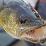 Walleye Teeth Facts